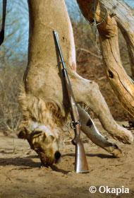 Toter Löwe, aufgehängt - daneben: ein Gewehr